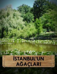 İstanbul'un Ağaçları : Prens Adaları'nın Ölümsüz Ağaçları